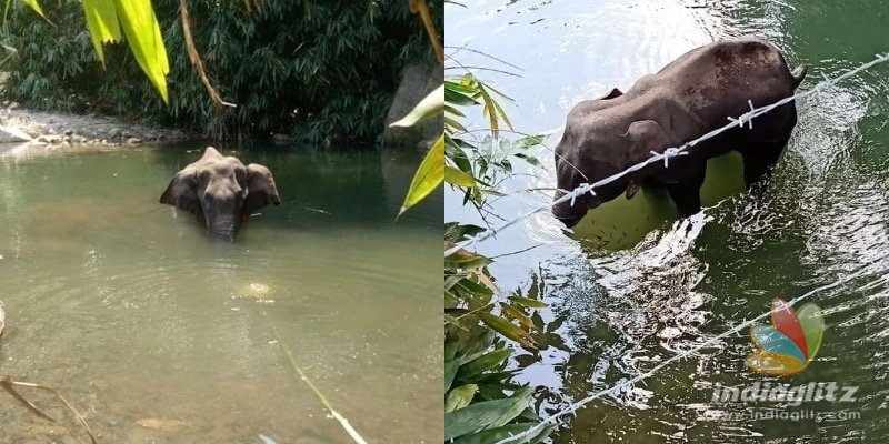 BRUTAL! Pregnant elephant dies after villager fed firecrackers stuffed in pineapple