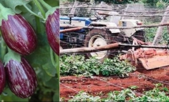 Farmer destroys 3-acres brinjal crops; Here's why!