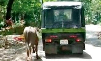 Buffalo tied to auto and dragged along road