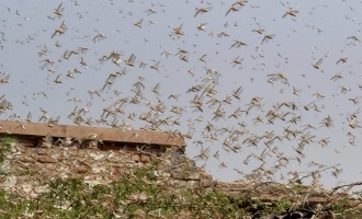 Locust attack: an important warning for Kerala