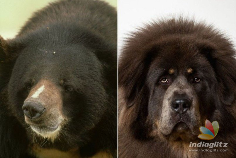 Familys moment of shock on knowing their pet dog was actually a wild bear!