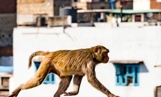 கொரோனா 'கிட்'களை கொள்ளையடித்த குரங்குகள்: பொதுமக்கள் அச்சம்