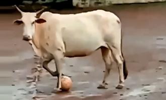 Holy Cow! Four-Legged Football Star Stuns, Video Inside
