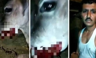 After elephant, crackers in food blow off cow's mouth