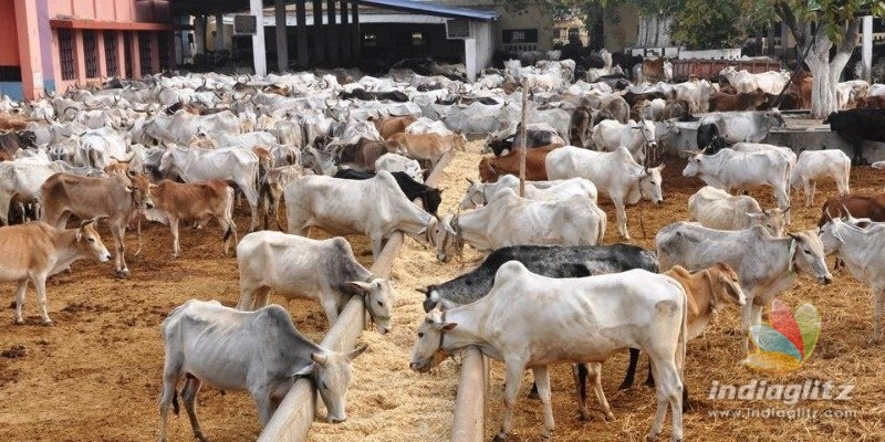 Man rapes seven cows, act recorded in CCTV
