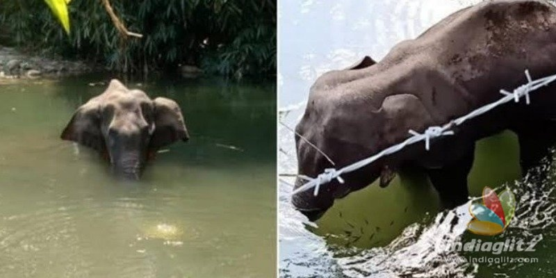 Kerala Pregnant elephant dies after eating pineapple with crackers!