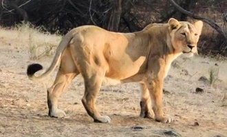 Chennai: Lioness dies of COVID-19, 8 more lions test positive at zoo