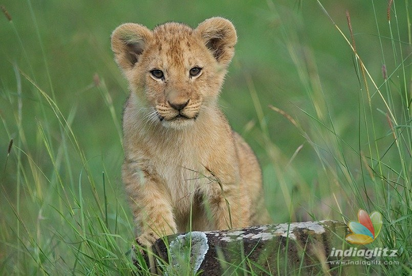 lion cub named after former cm jayalalithaa tamil movie news