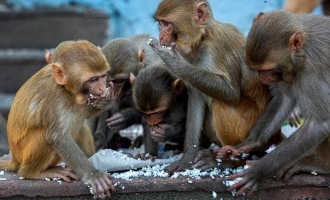Shocking! Monkeys steal COVID 19 blood samples from lab technician