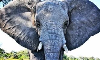 Elephant kills poacher, lions eat him!