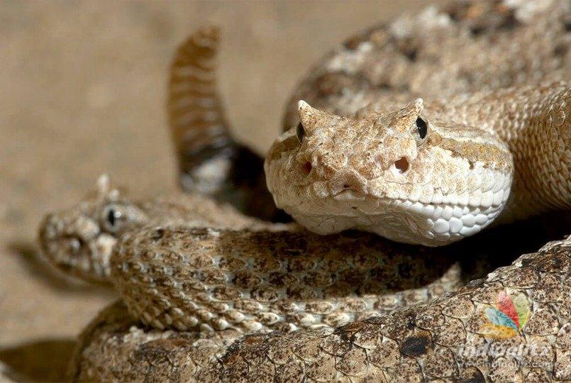 Bizarre: Man cuts rattlesnakes head, still gets bitten severely
