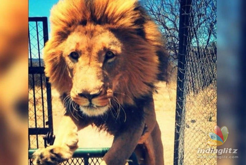 Watch video: Lion killed after attacking owner who raised him since