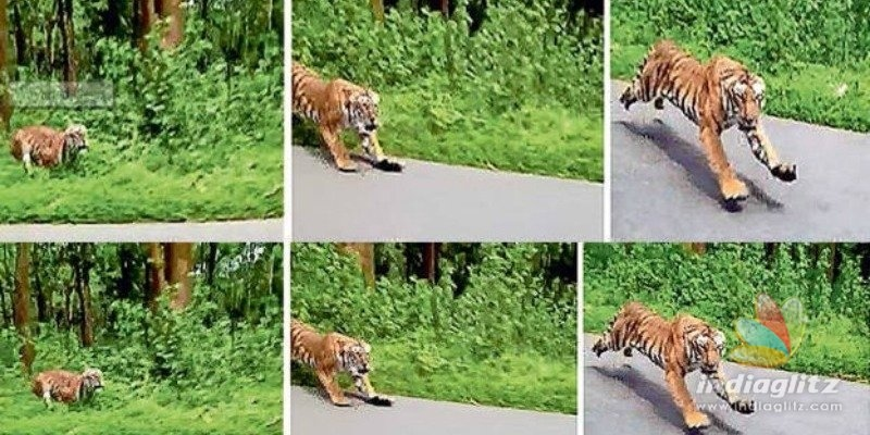 Terrifying! Tiger Chases Bike in Kerala, Video Inside