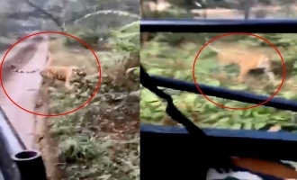 Terrifying video of tiger chasing tourist vehicle goes viral