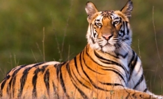 Tiger at US zoo tests positive for Coronavirus!