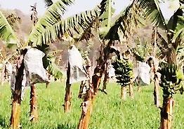 Shocking! Banana plantations get their own 'Covid-19'