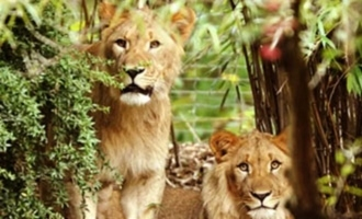 Eight lions in Hyderabad zoo contract virus