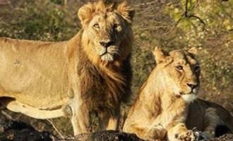 Here is the reason why 8 Asiatic lions tested coronavirus positive in Hyderabad Nehru zoological park