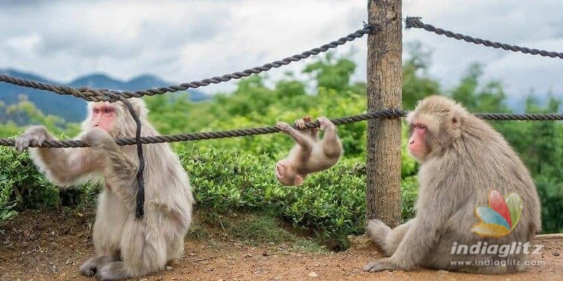 Karnataka: 100 acres to be earmarked for a monkey park