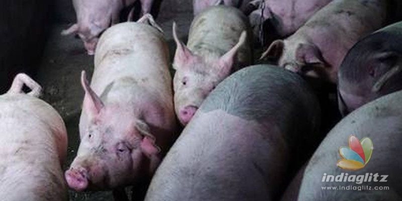 Assam not to cull pigs despite African Swine Flu killing 2500 pigs