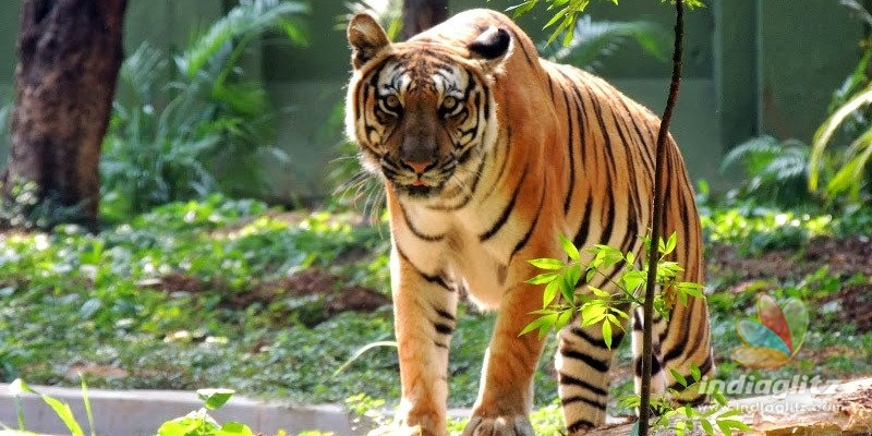 Indian zoos on high alert after tiger in New York gets COVID-19